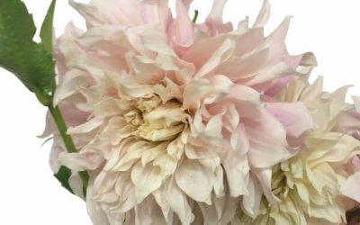 FEATURE FLOWER: Dahlia – Cafe Au Lait